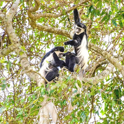 Black and White Colobus in Arusha National Park