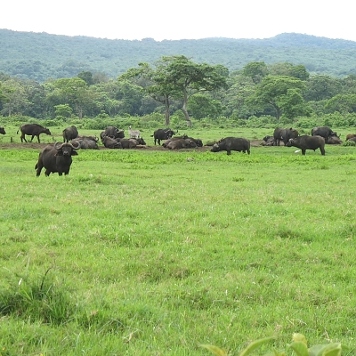 Buffalos in Arusha National Park