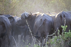Buffalos in Selous Game Reserve