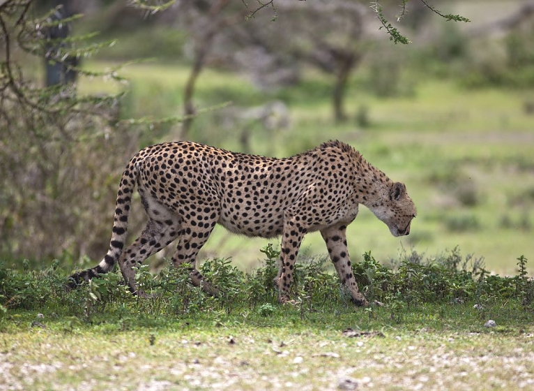 Cheeter in Serengeti National Park