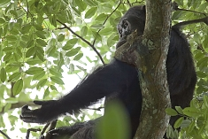 Chimp at Gombe National Park