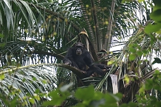 Chimpanzee at Gombe