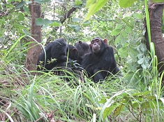Chimpanzee at Gombe Stream National Park
