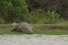 Crocodile in Selous Game Reserve