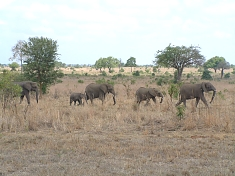 Elephants in Mikumi National Park