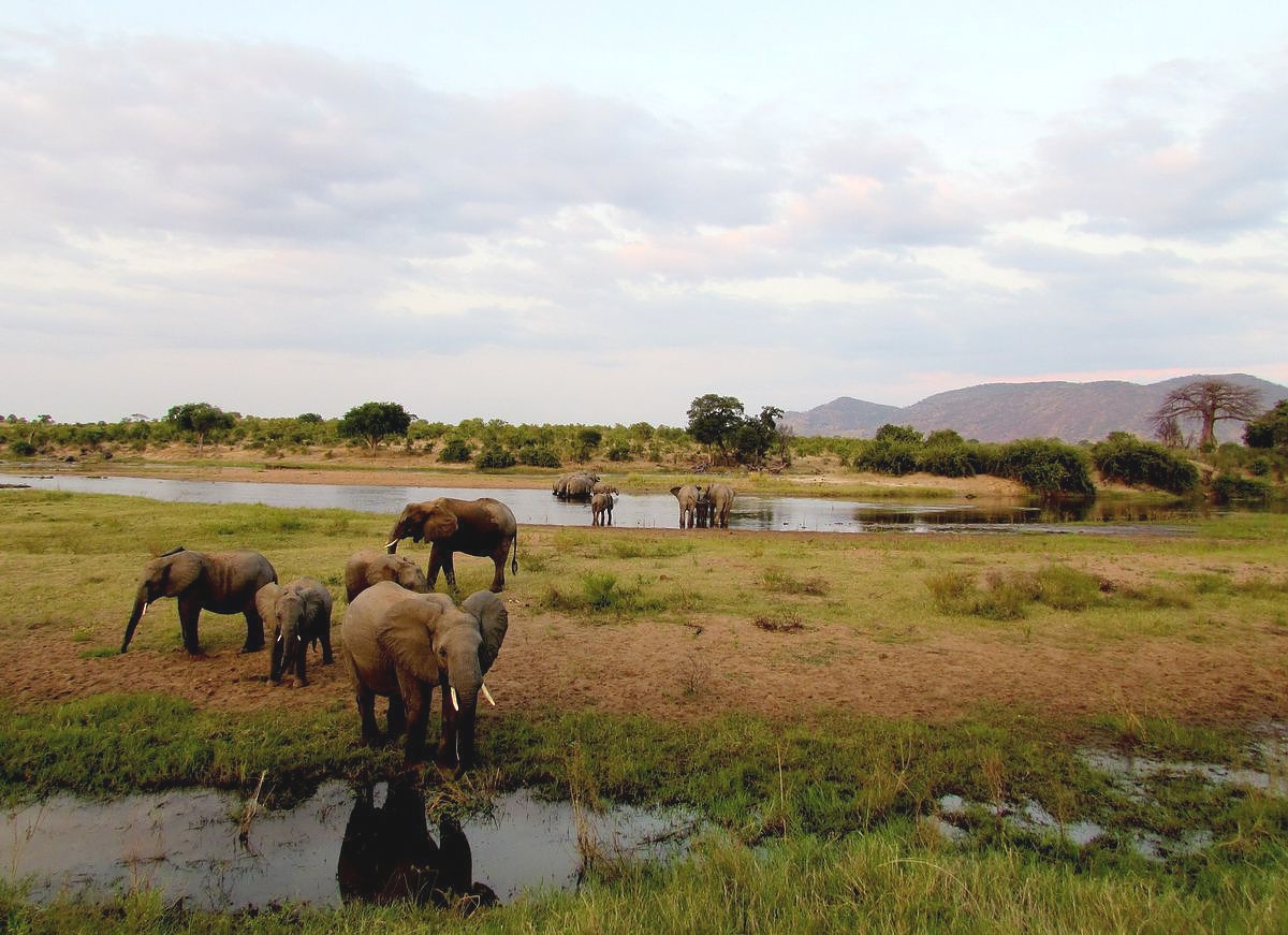 Elephants in Ruaha Park