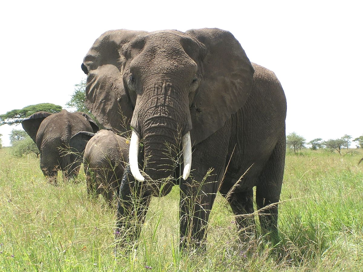 Elephants in the Ngorongoro Crater
