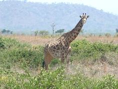 Giraffe in Mikumi National Park