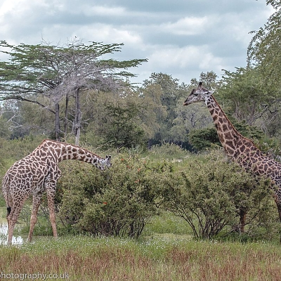 Giraffes in Selous Game Reserve