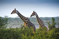 Giraffes in the Ngorongoro Crater