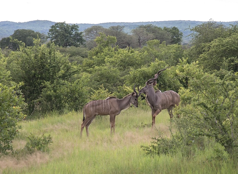 Greater Kudu in Ruaha Park