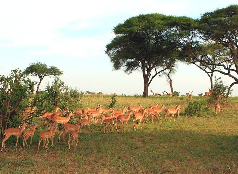 Impalas in Tarangire National Park