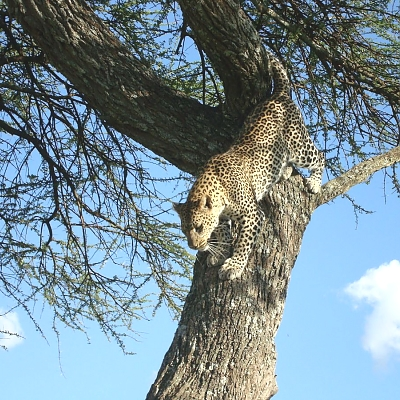 Leopard Tree Climbing in Serengeti National Park