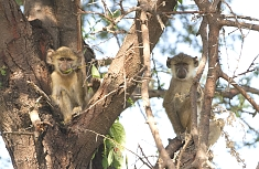 Monkeys in Katavi