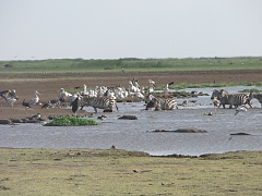 Pelicans in Lake Manyara