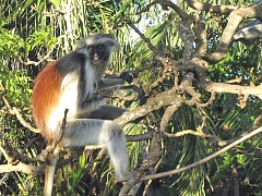 Red Colobus in_Jozani Forest Zanzibar
