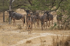 Wildebeasts in Selous Game Reserve